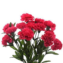 Carnation Flowers mumbai